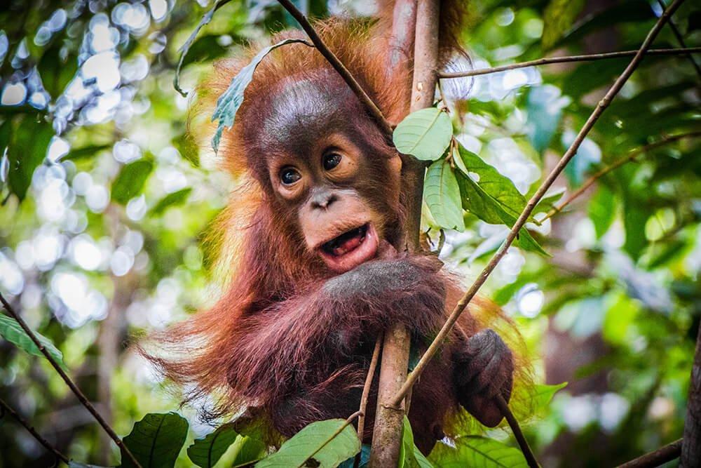 baby orangutan hangs in a branch